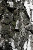 Corteccia di betulla — Foto Stock