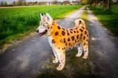 Painted dog — Stock Photo