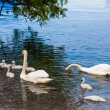 Swan with chicks in lake — Stock Photo #61251399