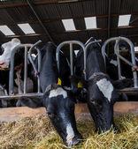 Vacas comendo feno — Foto Stock