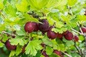 Fresh ripe gooseberries — Stock Photo