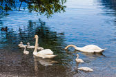 Swan with chicks in lake — Stock Photo