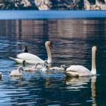 Swan family in lake — Stock Photo #62104989
