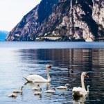 Swan family in lake — Stock Photo #62104993