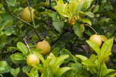 Gele rijp citroenen — Stockfoto