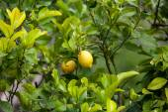 Yellow ripe lemons — Stock Photo