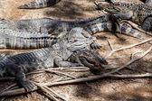 Sleeping crocodiles — Stock Photo