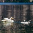 Swan with chicks. — Stock Photo #63000729
