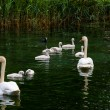 Swan with chicks. — Stock Photo #63000791