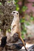 Alert Suricate or Meerkat — Stock Photo