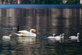 Swan with chicks. — Stock Photo