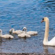 Swan with chicks. — Stock Photo #63443055
