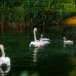 Swan with chicks. — Stock Photo #63443061