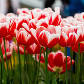 Fresh red and white  tulips — Stock Photo