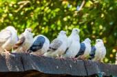 Gruppe von tauben — Stockfoto