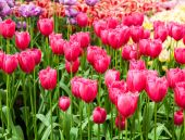 Fresh  tulips in park — Stock Photo