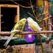 Two Small Parrots Kissing — Stock Photo #69437173