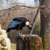 Griffon vulture, close-up — Stock Photo