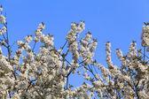 Ramas del árbol floreciente — Foto de Stock