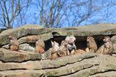 Wild monkeys family — Stok fotoğraf