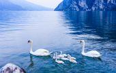 Swan family in Garda lake — Stock Photo
