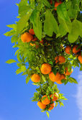 Oranges hanging on tree — Stock Photo