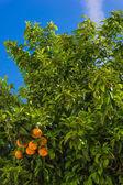 Apelsiner hängande träd. Mandarin apelsiner. Saftiga apelsiner på tr — Stockfoto