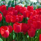 Beautiful redtulips — Stock Photo