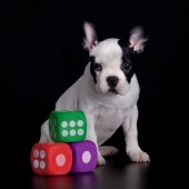 French Bulldog and cubes — Stock Photo