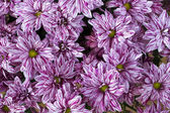 Rosa krysantemum bakgrund — Stockfoto