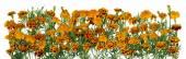 Gold saffron flowers line — Stockfoto