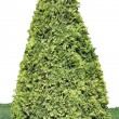 Evergreen coniferous tree isolated — Stock Photo #55958017