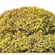 Golden spherical isolated bush — Stock Photo #55958059
