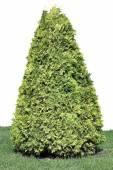 Evergreen coniferous tree isolated — Stock Photo