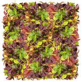 Quadratisch von der wilden Weintraube — Stockfoto