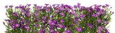Violet chrysanthemums isolated line — Foto Stock