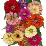 Autumn flowers of a tsiniya — Stock Photo #61529067