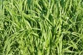 ブレードの草の葉 — ストック写真