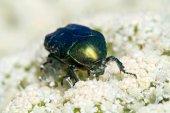 Cetonia aurata beetle — Stock Photo