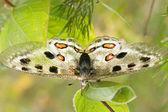 Nomion butterfly — Foto de Stock