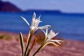 White Agapanthus africanus flower — Stock Photo