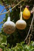Ornamental gourds — Stock Photo