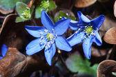 Weigela wonderful flower — Stock Photo