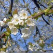White flowers on a tree — Stock Photo #66952721