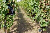 Beautiful wine yard — Stock Photo