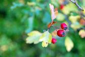 Ripe rose hip berries — Stockfoto