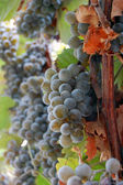 Red wine grapes hanging on the wine — Stock Photo