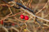 Ripe rose hip berries — Stock Photo
