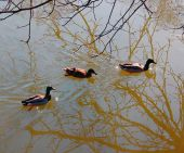 Mallard ducks on frozen lake — Fotografia Stock