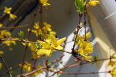Laburnum flowers — Stock Photo